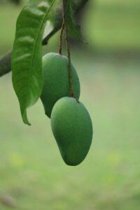 contoh buah mangga untuk pembelajaran paud