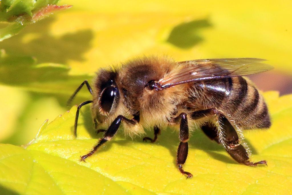 ilustrasi rpph binatang terbang lebah